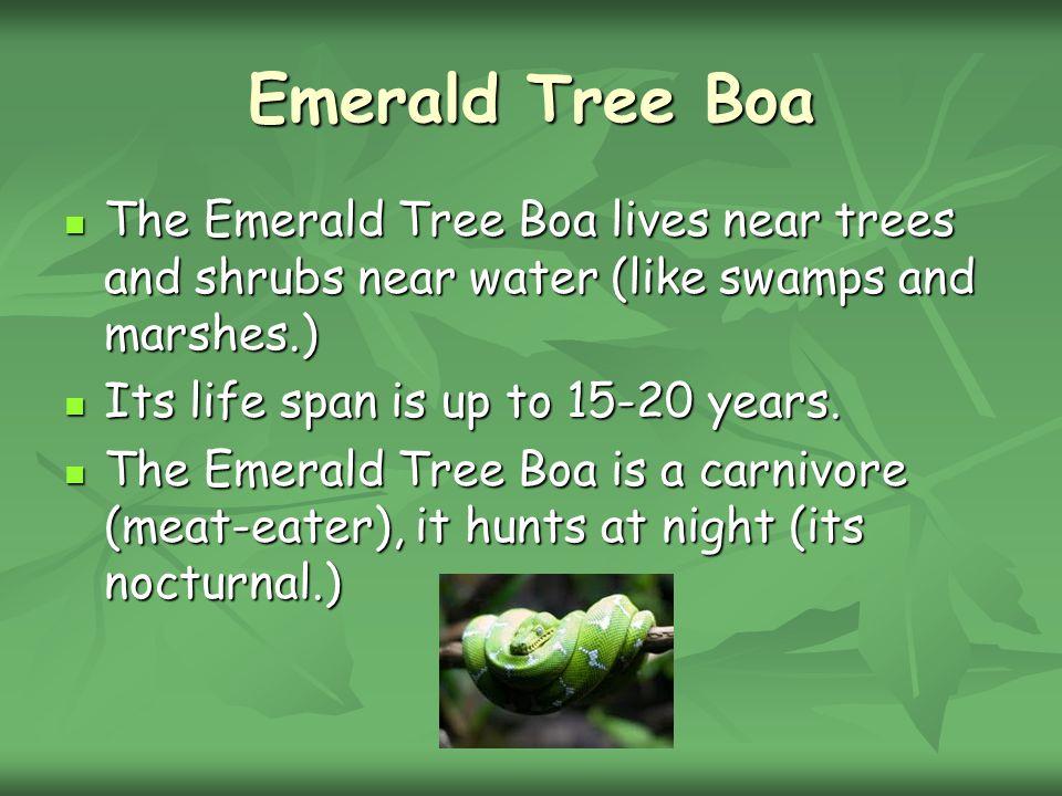 Emerald Tree Boa The Emerald Tree Boa lives near trees and shrubs near water (like swamps and marshes.)