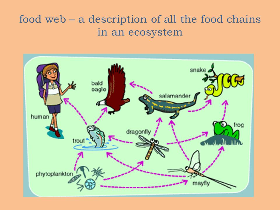 food web – a description of all the food chains in an ecosystem