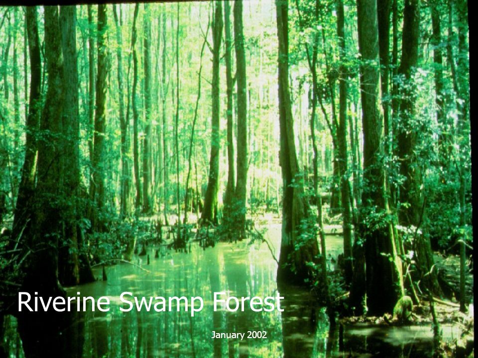 Riverine Swamp Forest January 2002