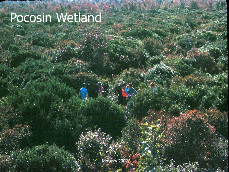Pocosin Wetland January 2002