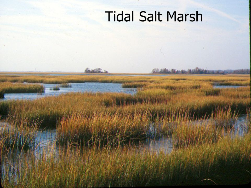 Tidal Salt Marsh January 2002