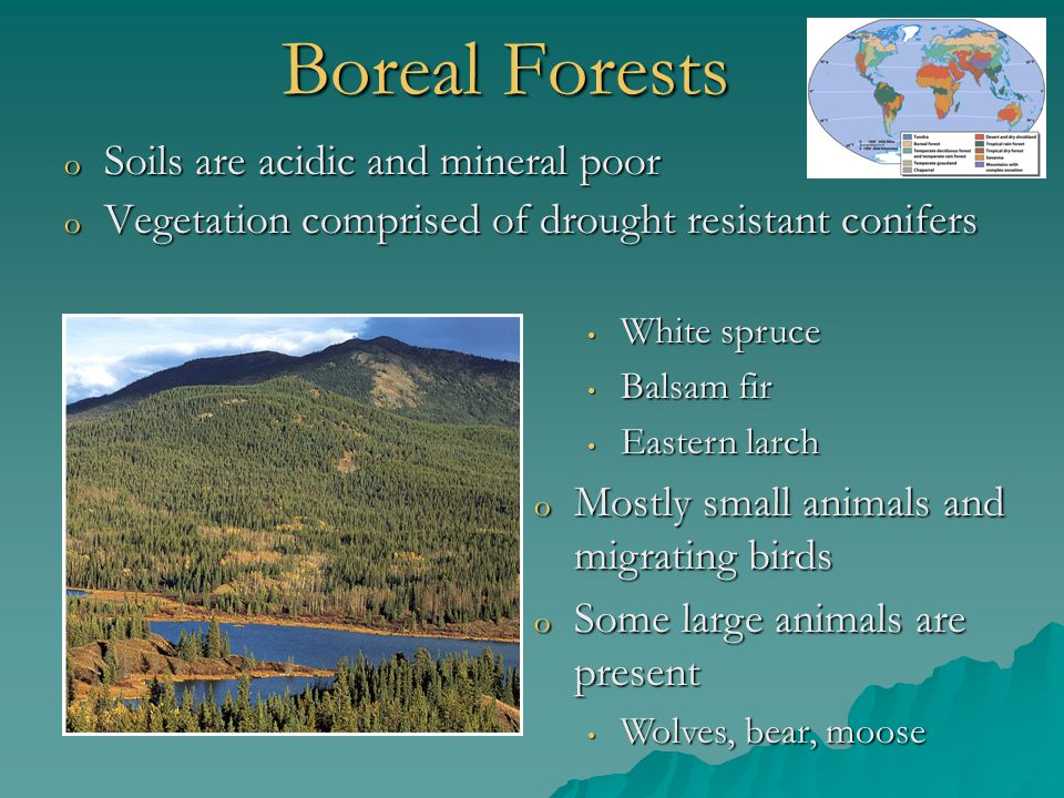 Boreal Forests Soils are acidic and mineral poor