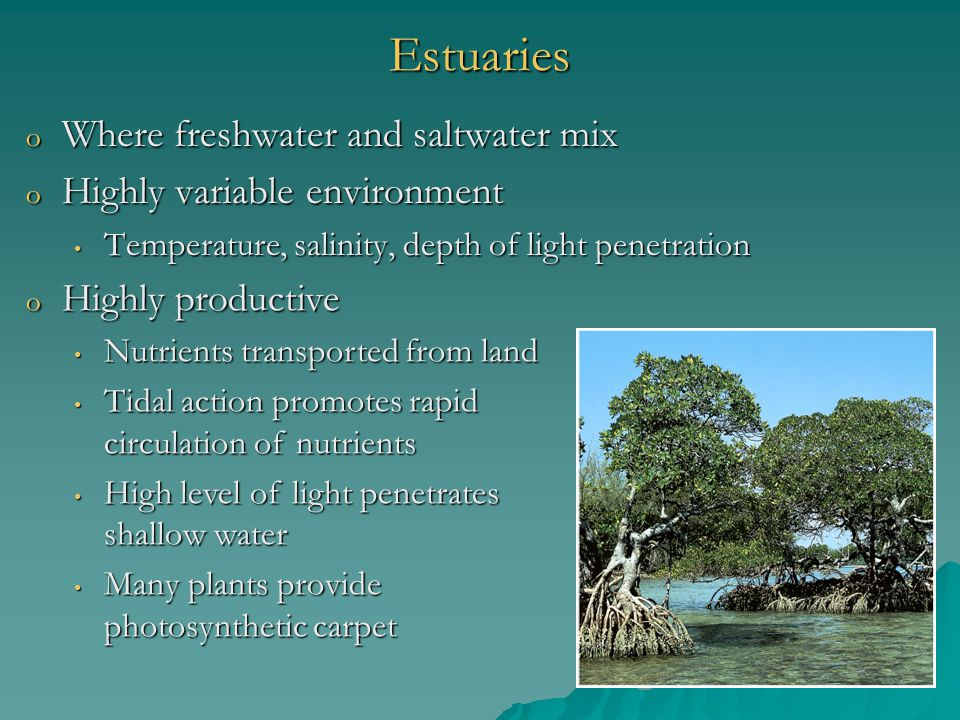 Estuaries Where freshwater and saltwater mix