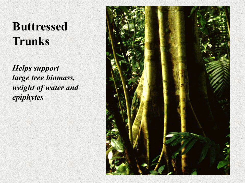 Buttressed Trunks Helps support large tree biomass,