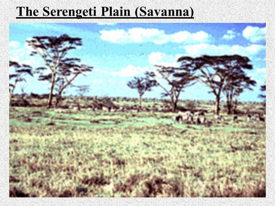 The Serengeti Plain (Savanna)