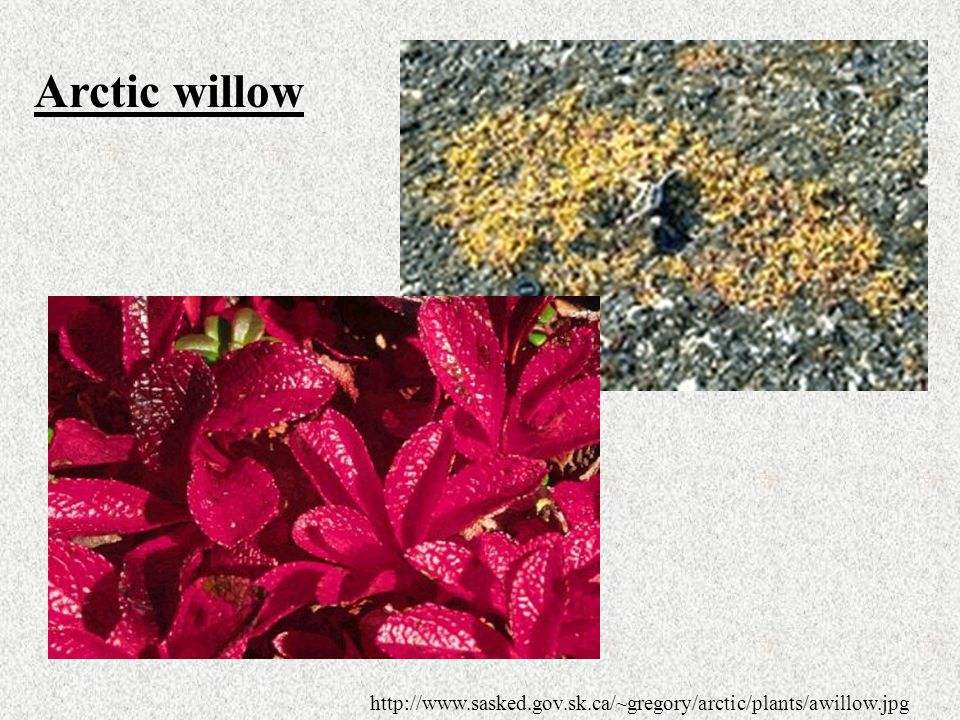 Arctic willow http://www.sasked.gov.sk.ca/~gregory/arctic/plants/awillow.jpg