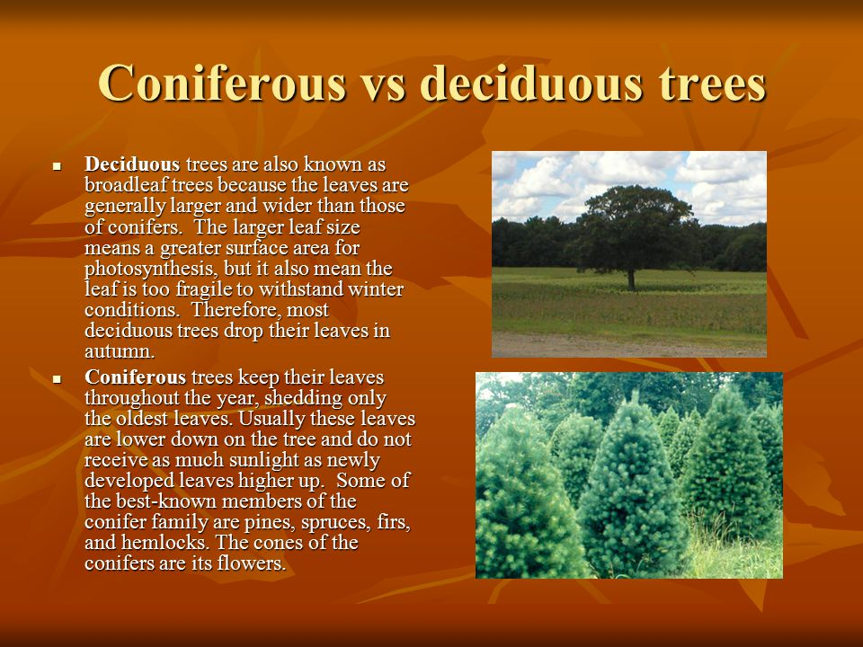 Coniferous vs deciduous trees