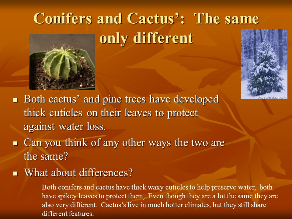 Conifers and Cactus': The same only different
