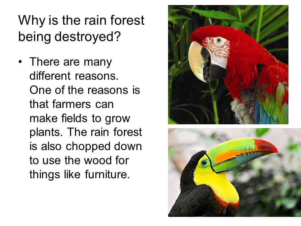 Why is the rain forest being destroyed