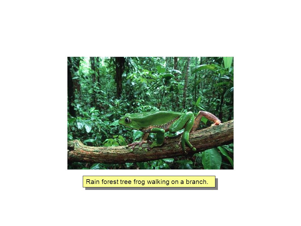 Rain forest tree frog walking on a branch.