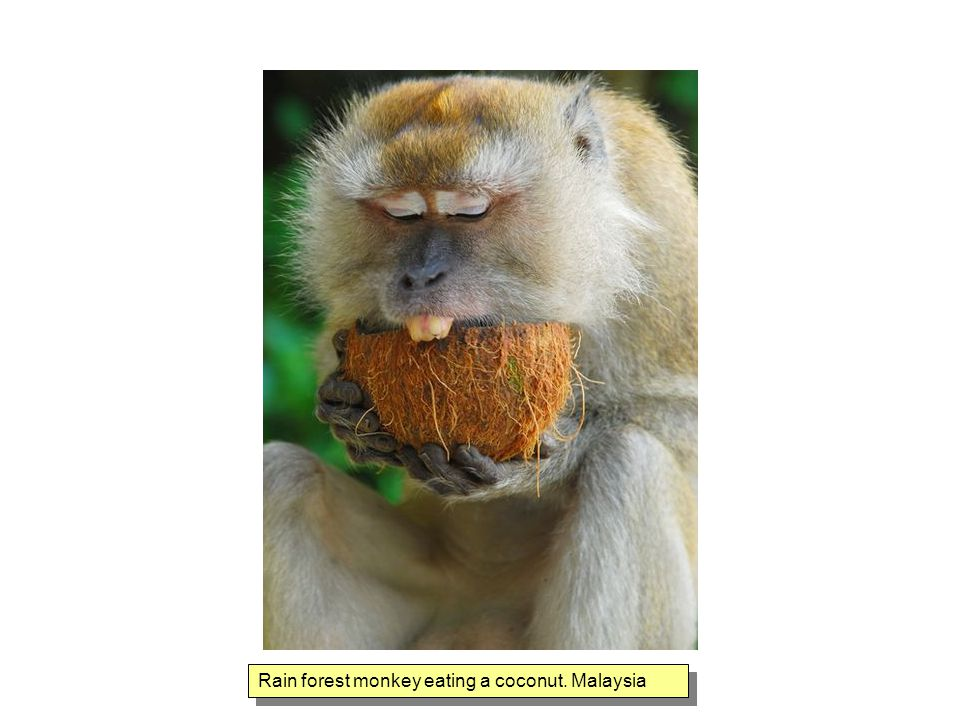 Rain forest monkey eating a coconut. Malaysia