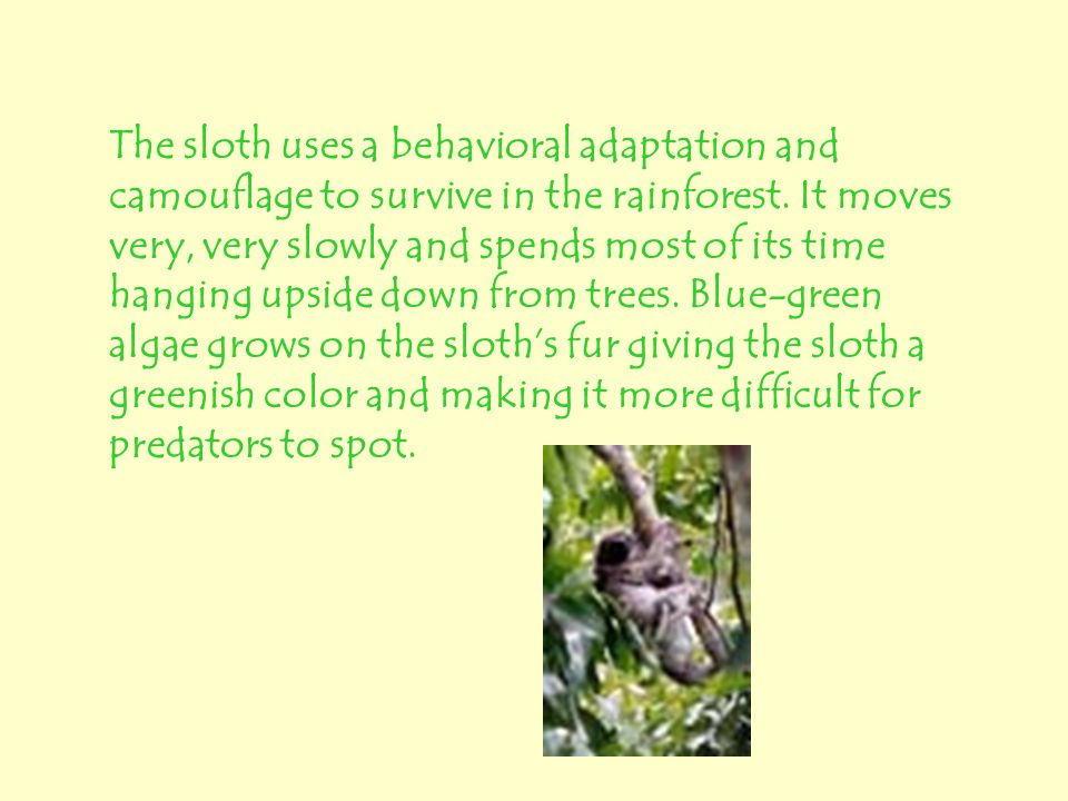 The sloth uses a behavioral adaptation and camouflage to survive in the rainforest.