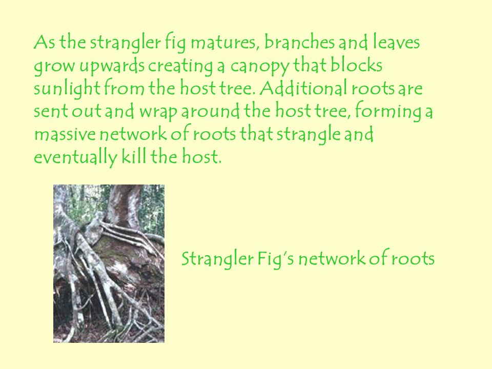 As the strangler fig matures, branches and leaves grow upwards creating a canopy that blocks sunlight from the host tree. Additional roots are sent out and wrap around the host tree, forming a massive network of roots that strangle and eventually kill the host.