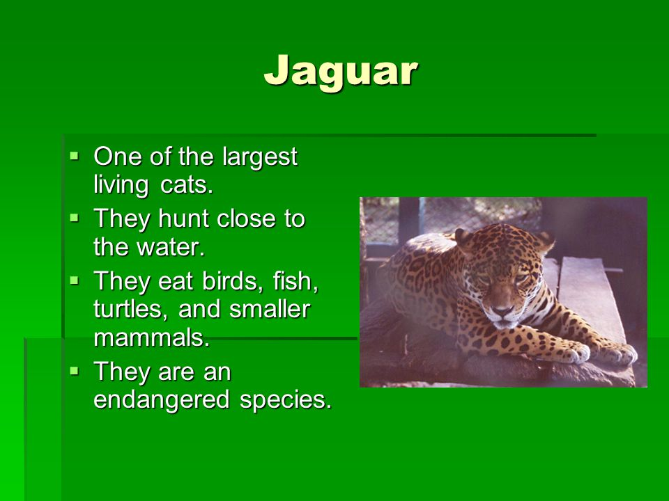 Jaguar One of the largest living cats. They hunt close to the water.