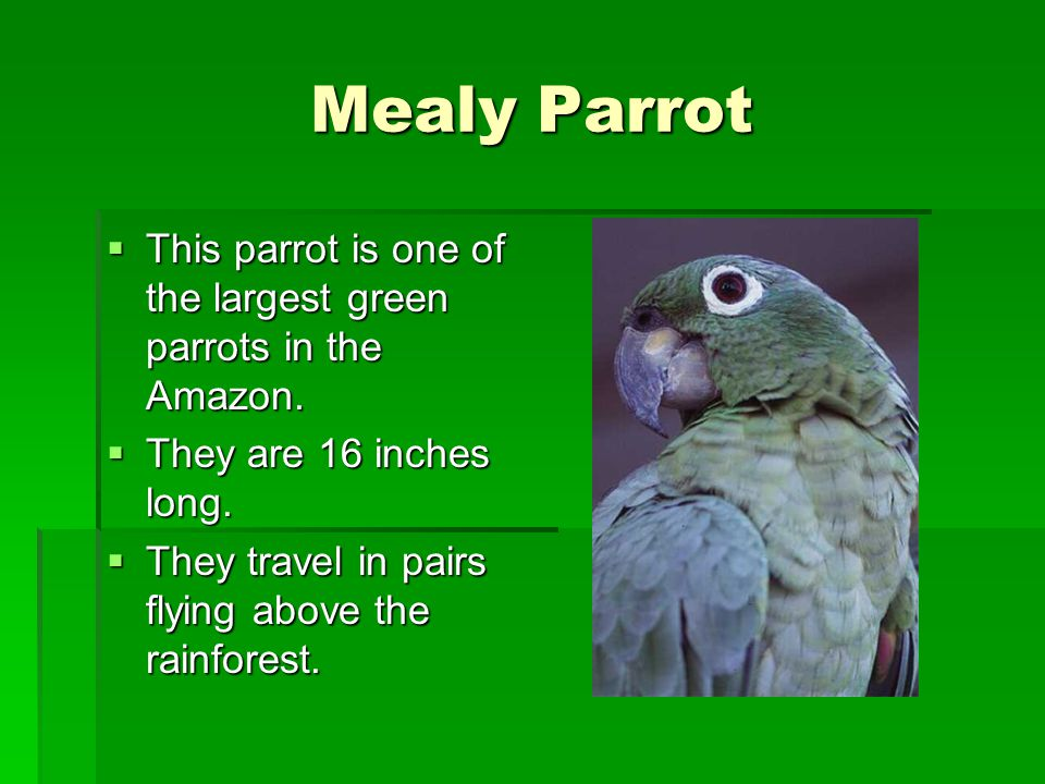 Mealy Parrot This parrot is one of the largest green parrots in the Amazon. They are 16 inches long.