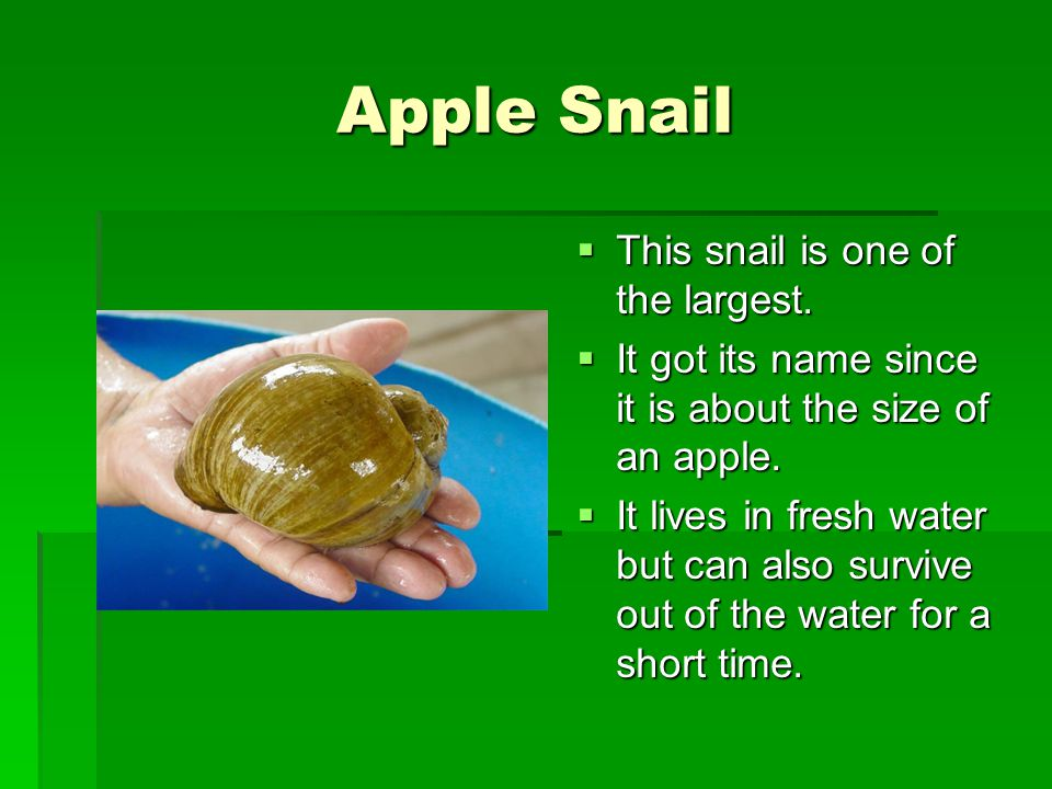 Apple Snail This snail is one of the largest.