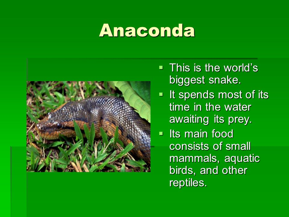 Anaconda This is the world's biggest snake.