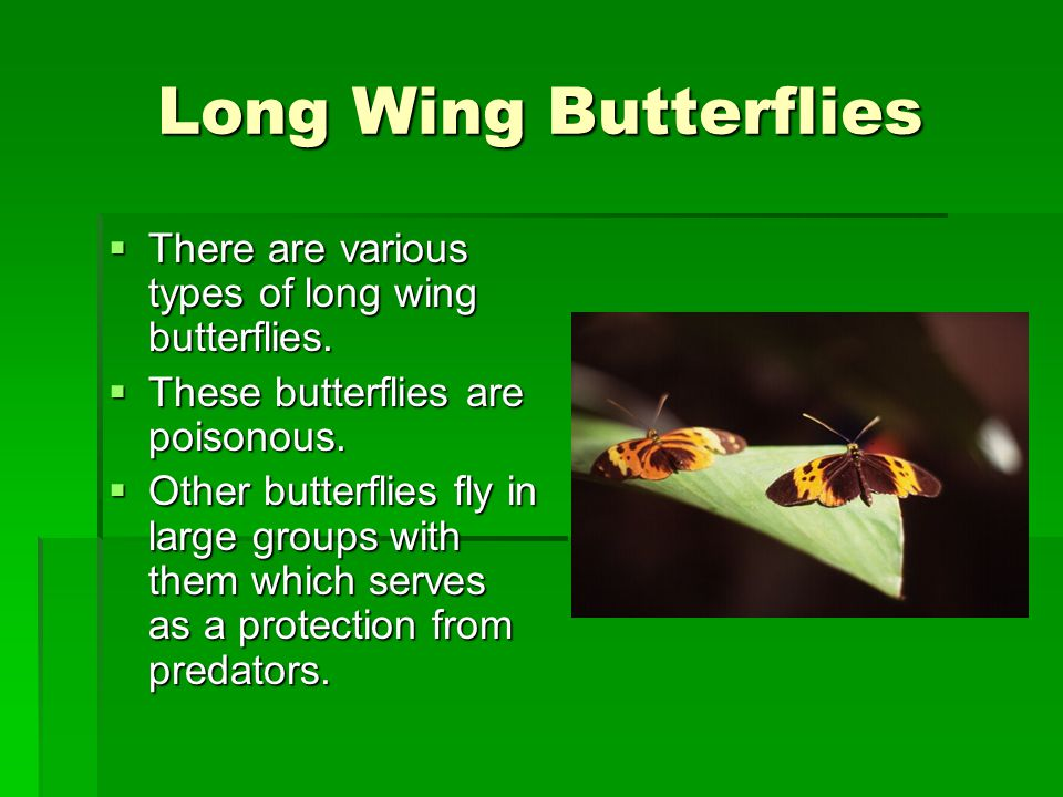 Long Wing Butterflies There are various types of long wing butterflies. These butterflies are poisonous.