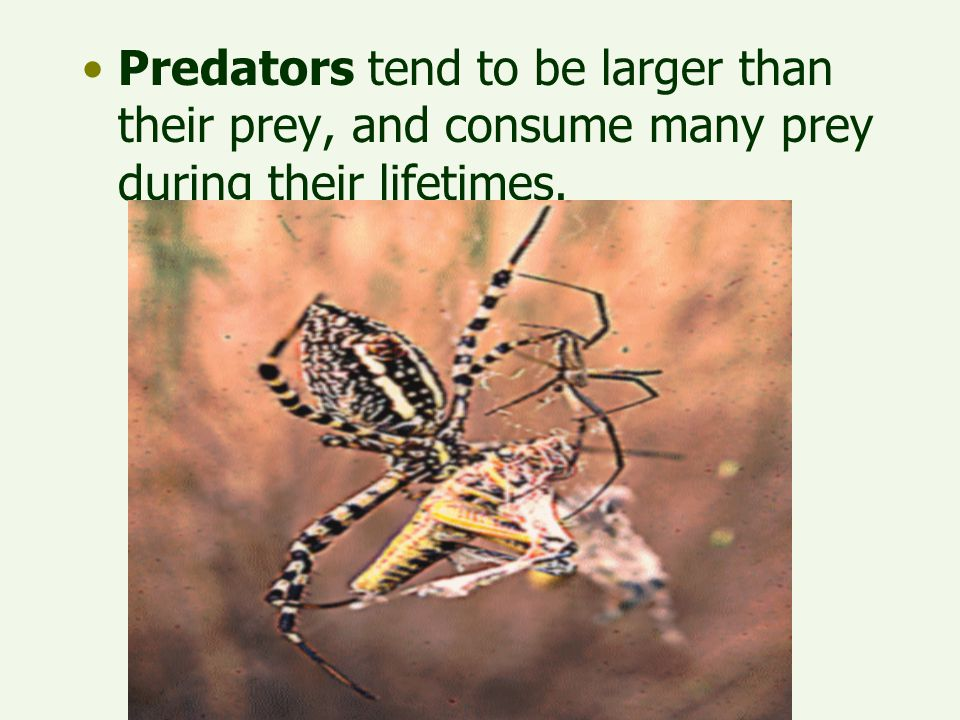 Predators tend to be larger than their prey, and consume many prey during their lifetimes.