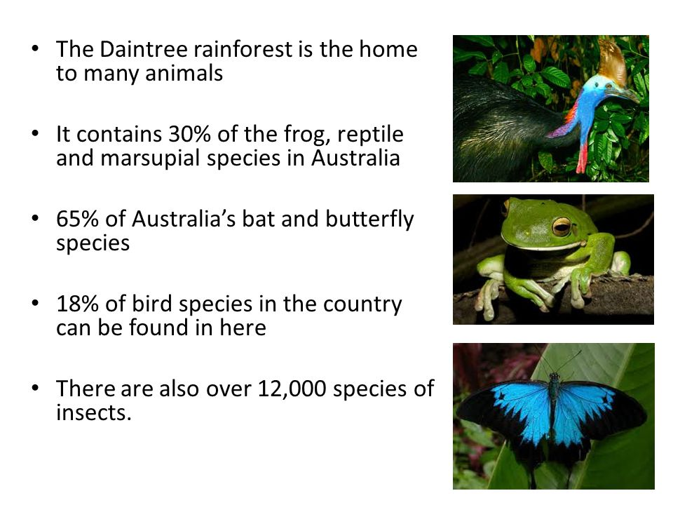 The Daintree rainforest is the home to many animals
