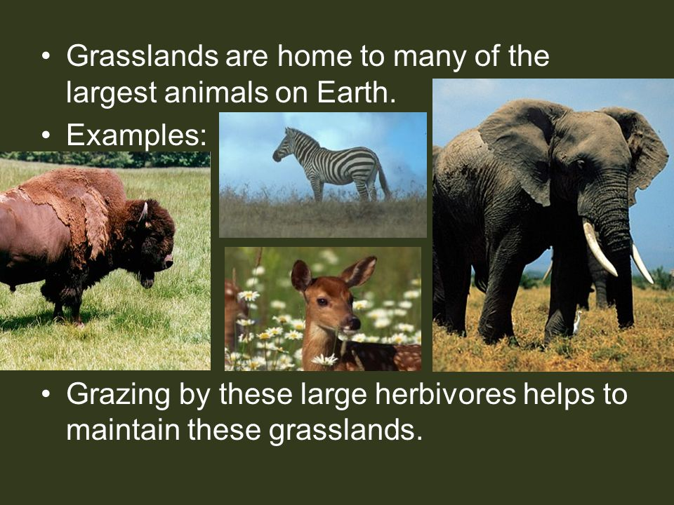 Grasslands are home to many of the largest animals on Earth.