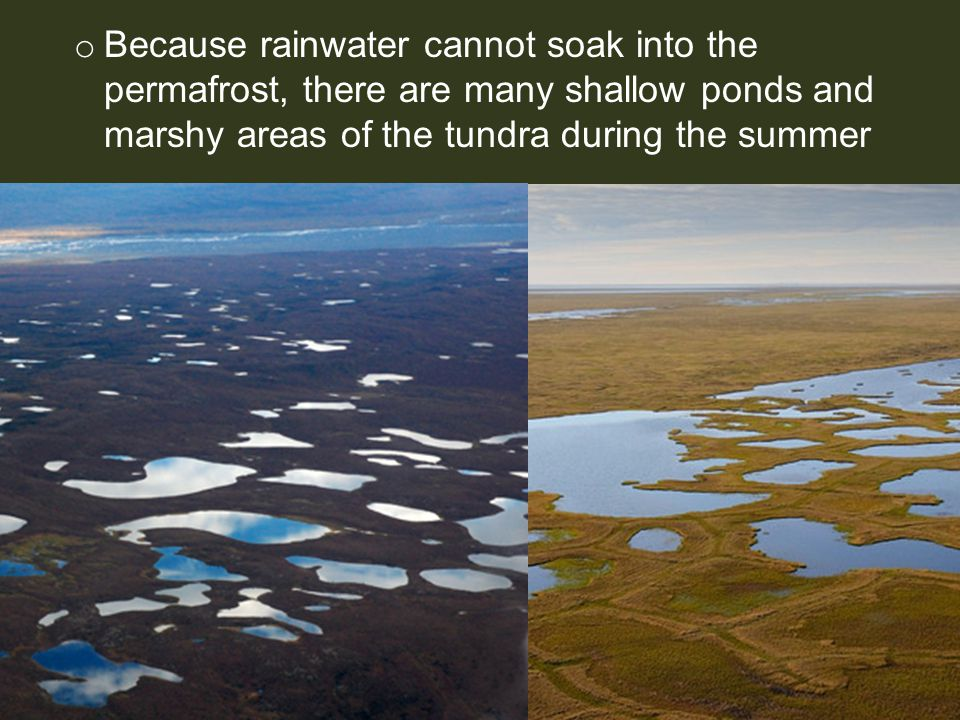 Because rainwater cannot soak into the permafrost, there are many shallow ponds and marshy areas of the tundra during the summer