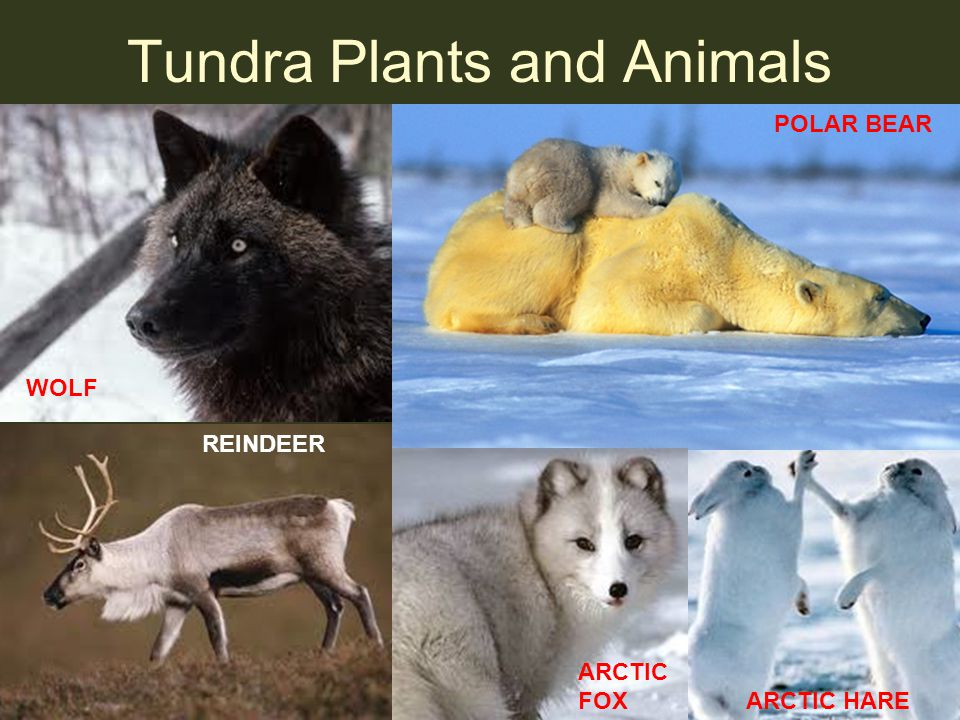 Tundra Plants and Animals