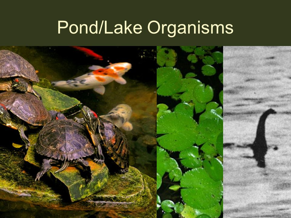Pond/Lake Organisms