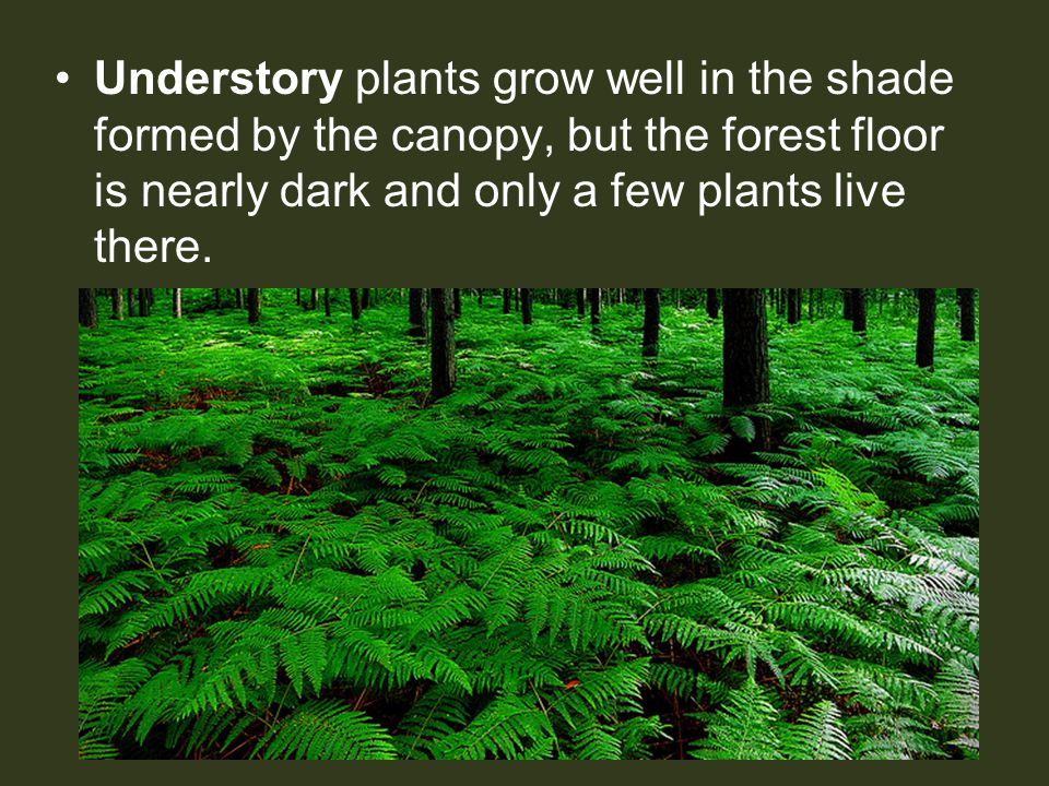 Understory plants grow well in the shade formed by the canopy, but the forest floor is nearly dark and only a few plants live there.