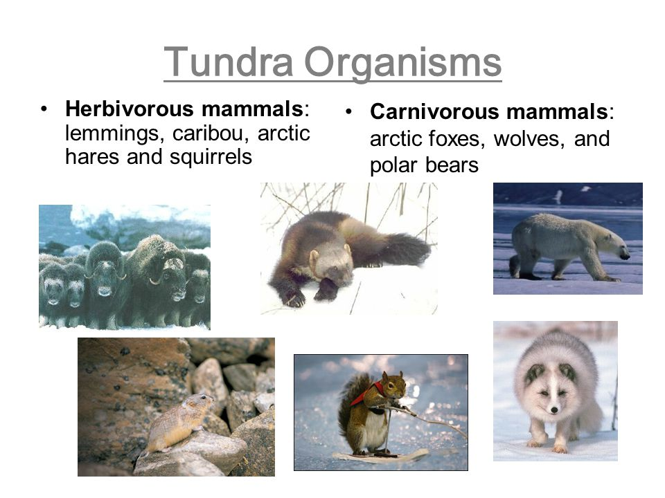 Tundra Organisms Herbivorous mammals: lemmings, caribou, arctic hares and squirrels.