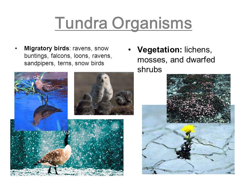 Tundra Organisms Vegetation: lichens, mosses, and dwarfed shrubs