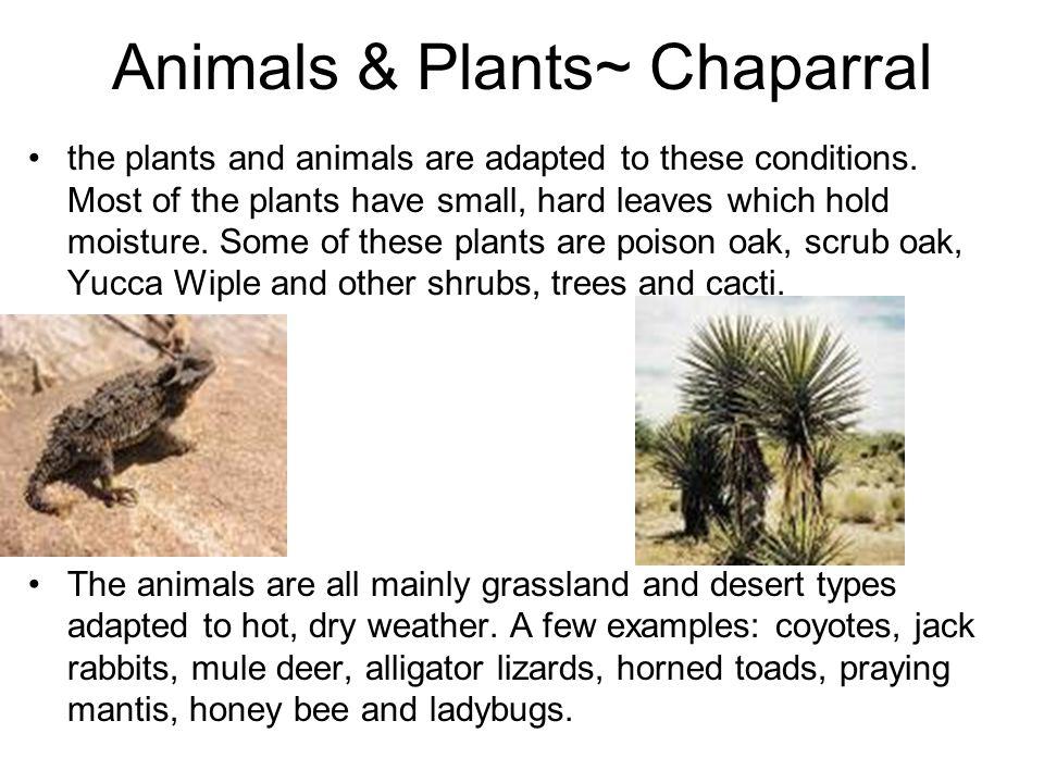 Animals & Plants~ Chaparral