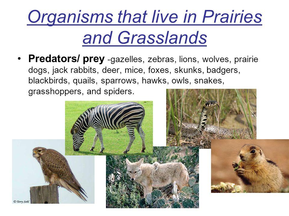 Organisms that live in Prairies and Grasslands