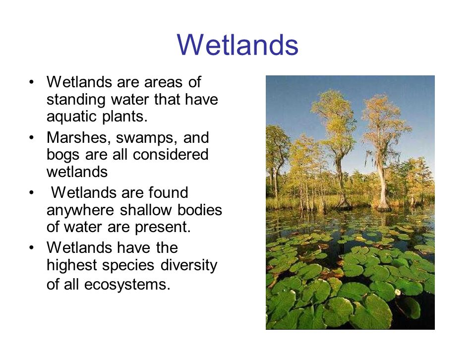 Wetlands Wetlands are areas of standing water that have aquatic plants. Marshes, swamps, and bogs are all considered wetlands.