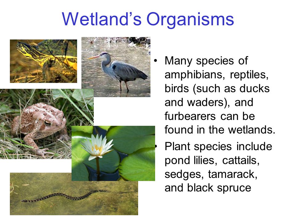 Wetland's Organisms Many species of amphibians, reptiles, birds (such as ducks and waders), and furbearers can be found in the wetlands.