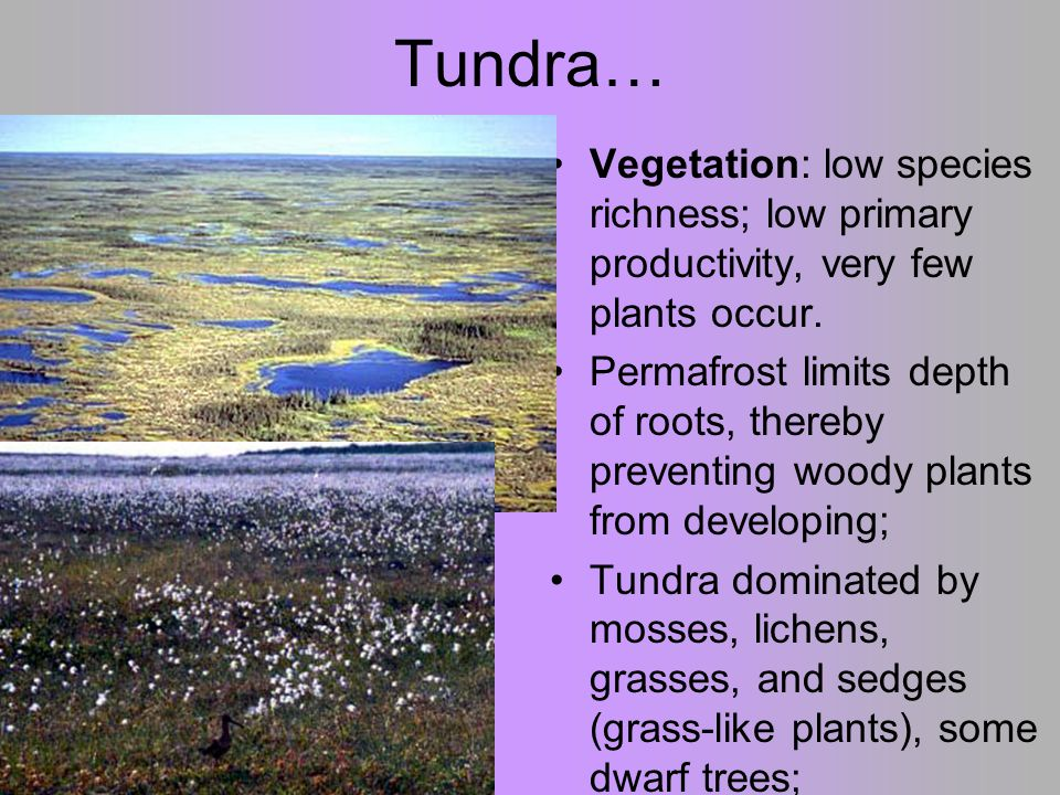 Tundra… Vegetation: low species richness; low primary productivity, very few plants occur.