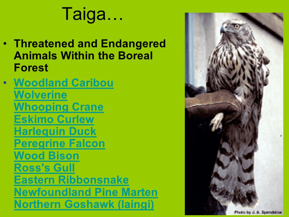 Taiga… Threatened and Endangered Animals Within the Boreal Forest