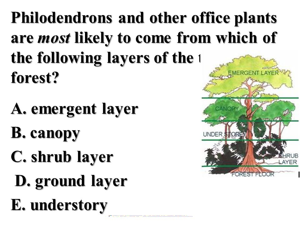 Philodendrons and other office plants are most likely to come from which of the following layers of the tropical rain forest A. emergent layer B. canopy C. shrub layer D. ground layer E. understory