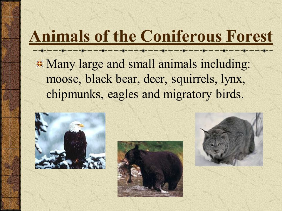 Animals of the Coniferous Forest