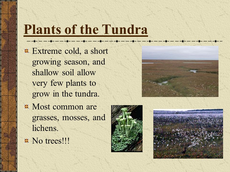 Plants of the Tundra Extreme cold, a short growing season, and shallow soil allow very few plants to grow in the tundra.