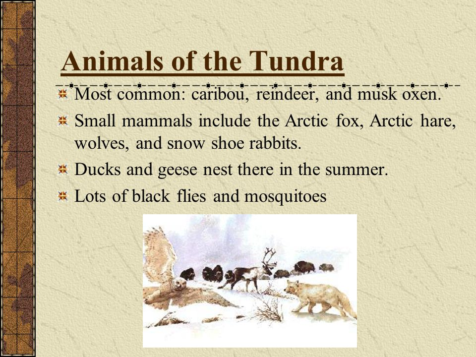 Animals of the Tundra Most common: caribou, reindeer, and musk oxen.