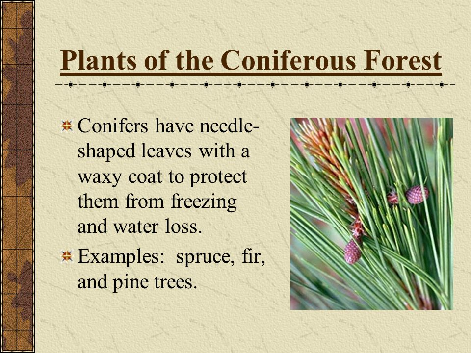 Plants of the Coniferous Forest