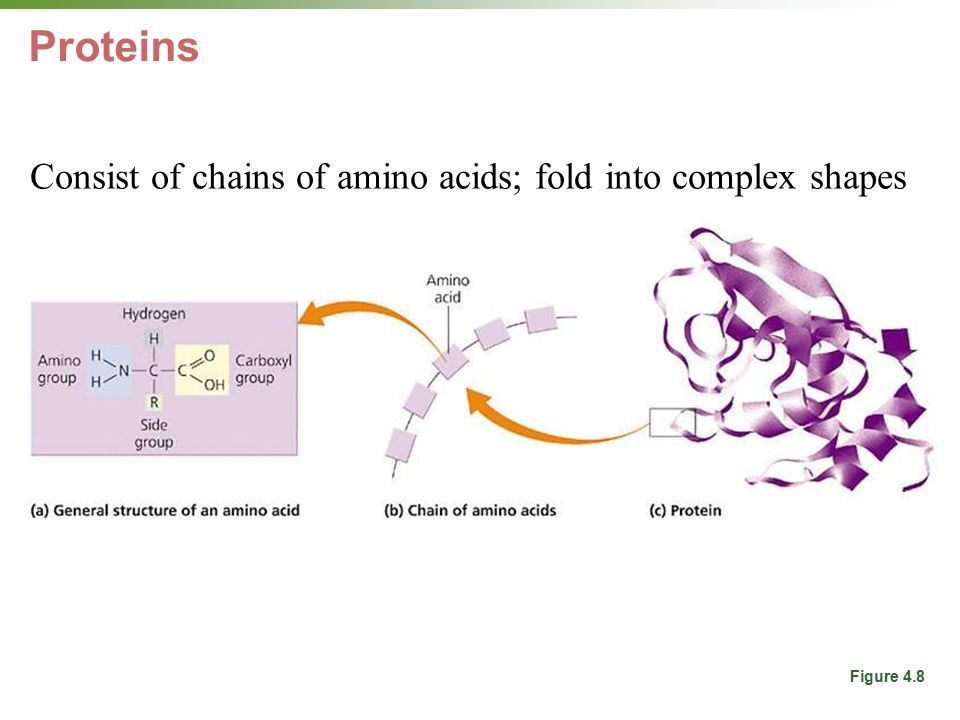 Proteins Consist of chains of amino acids; fold into complex shapes For structure, energy, immune system, hormones, enzymes.
