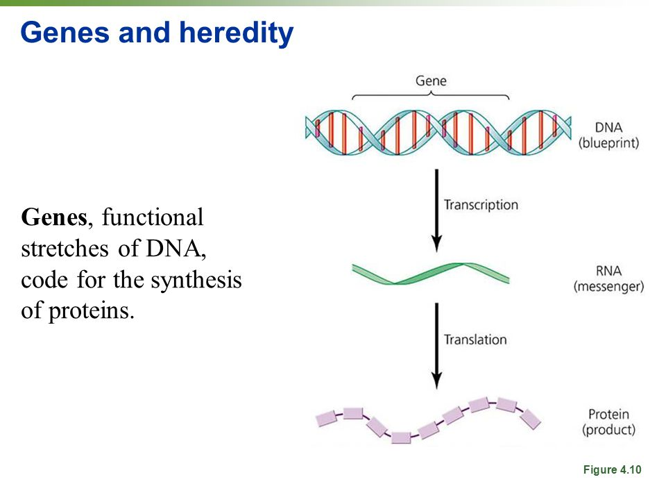 Genes and heredity Genes, functional stretches of DNA, code for the synthesis of proteins.