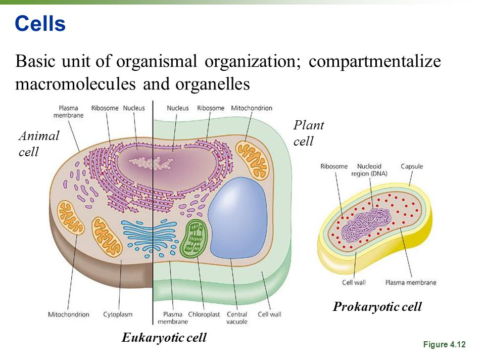 Cells Basic unit of organismal organization; compartmentalize macromolecules and organelles. Plant cell.