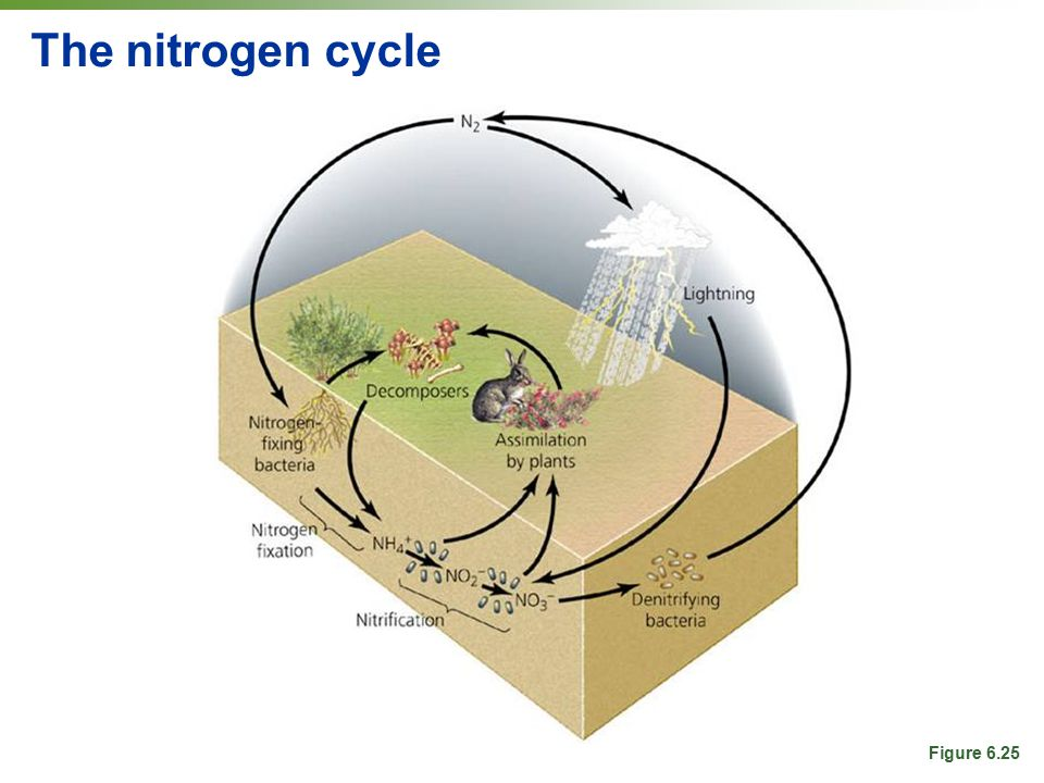 The nitrogen cycle Figure 6.25