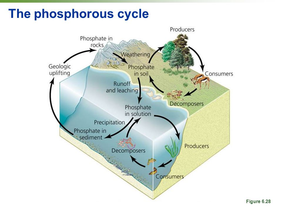 The phosphorous cycle Figure 6.28