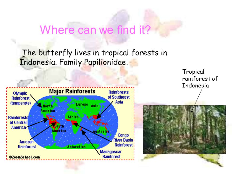 Where can we find it. The butterfly lives in tropical forests in Indonesia.