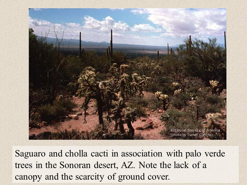 Saguaro and cholla cacti in association with palo verde trees in the Sonoran desert, AZ.