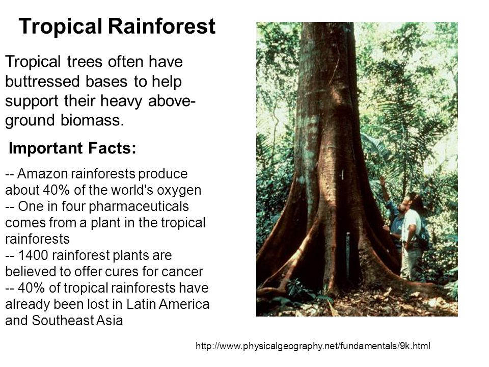 Tropical Rainforest Tropical trees often have buttressed bases to help support their heavy above-ground biomass.